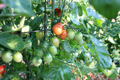 7-25tomatoes