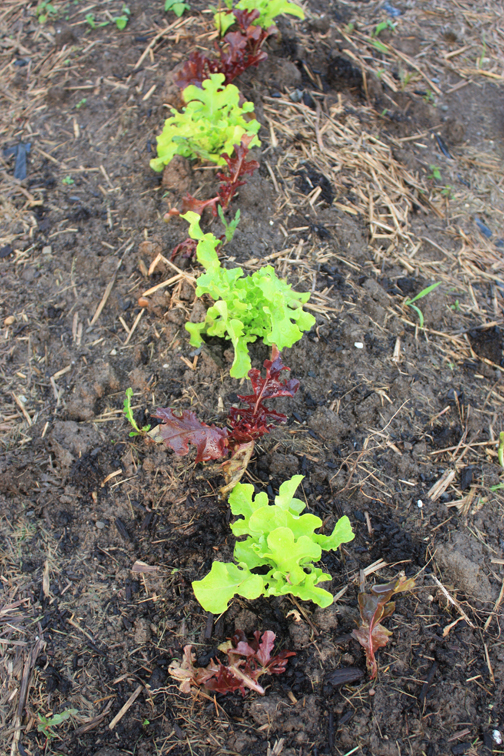 5-31-lettuce