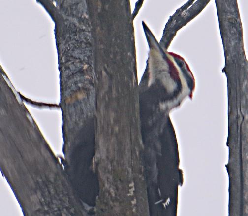 3-3woodpeckerjpg